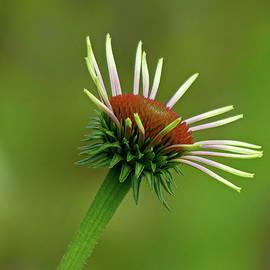 Coneflower or Echinacea by Lyuba Filatova