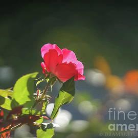 Maria Costello - Contemplating Rose
