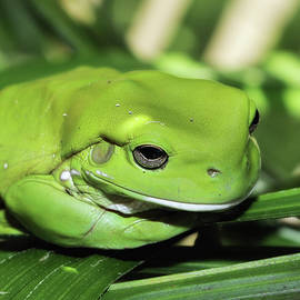 Kevin Chippindall - Cool green frog 001