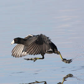 Coot Walkin On Water  by Ruth Jolly