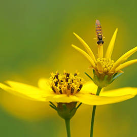 Coreopsis and visitor by Carolyn Derstine