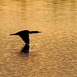 Debbie Oppermann - Cormorant At Sunrise