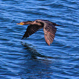 Cormorant Over The Water by Tom Kostro