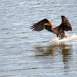 Roy Williams - Cormorant Water Landing 2
