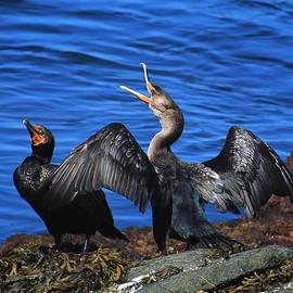 Cormorants In The Sun by Tom Kostro