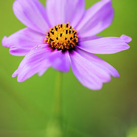 Vishwanath Bhat - Cosmos Flower on green background