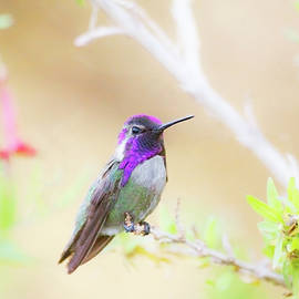 Costa's Hummingbird  among the foliage  by Ruth Jolly