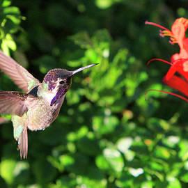Costa's Hummingbird in Flight by Shoal Hollingsworth