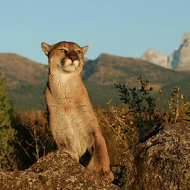 Cougar by Ronnie and Frances Howard