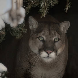 Cougar's Stare by Tammy Lauritsen