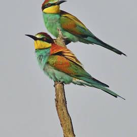 Couple Of Rainbow Birds by Nicola Fusco