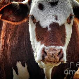 Ella Kaye Dickey - Cow Face Portrait - at the Ranch