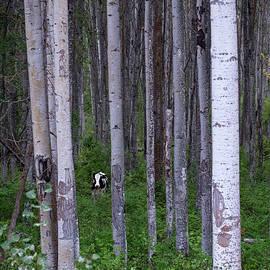 Mary Lee Dereske - Cow in Aspen Trees