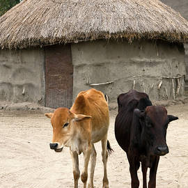 Sally Weigand - Cows by Maasai Mud House