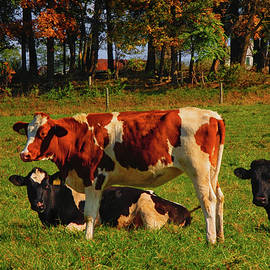 Cows On the PA AT by Raymond Salani III
