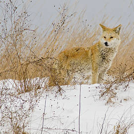 Coyote In The Snow by Morris Finkelstein