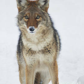 Stanza Widen - Coyote Looking at Me