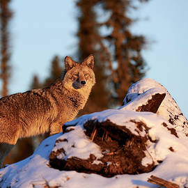 Jestephotography Ltd - Coyote - Northern Canadian Forest