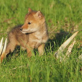 Coyote Pup and Antlers