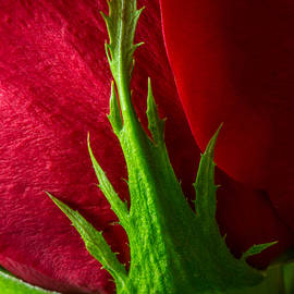 Cradling A Red Rose  by Dale Kincaid