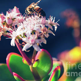 Sharon Mau - Crassula ovata Flowers and Honey Bee