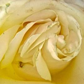 Creamy Rose by Stephanie Moore