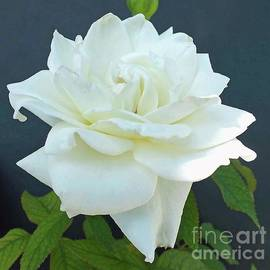 Cindy Treger - Creamy White Layers - Rose