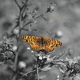 Mylitta Crescent Butterfly Selective Coloring by Marlin and Laura Hum