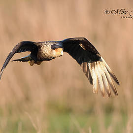 Crested Caracara by Mike Fitzgerald