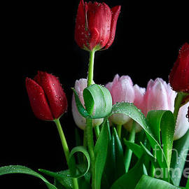 Tracy Hall - Crimson and Pink Tulips