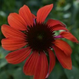 Jimmy Chuck Smith - Crimson Cone Flower