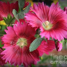 Crimson Red Hollyhocks by Dora Sofia Caputo Photographic Design and Fine Art