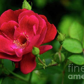 Kaye Menner - Crimson Red Rose by Kaye Menner