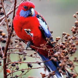 Crimson Rosella by Nicholas Blackwell