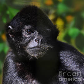Paul Davenport - critically endangered Black Spider Monkey 2 in col