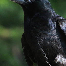Crow-6870 by Gary Gingrich Galleries