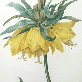 Pierre Joseph Redoute - Crown Imperial  Fritillaria imperialis
