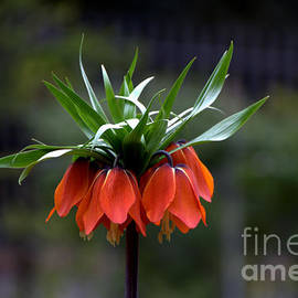 Crown Imperial Lily Flower by Noa Yerushalmi