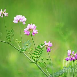 Charline Xia - Crown Vetch Wildflower