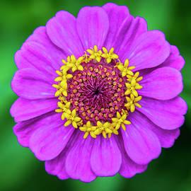 Crowned Bloom Zinnia by LeeAnn McLaneGoetz McLaneGoetzStudioLLCcom