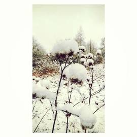 Crowns Of Snow#winter #snow #floral