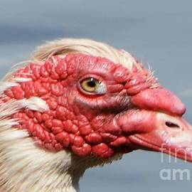 Dani McEvoy - Crying Goose