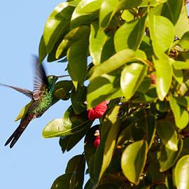 David Beebe - Cuban Emerald Hummingbird