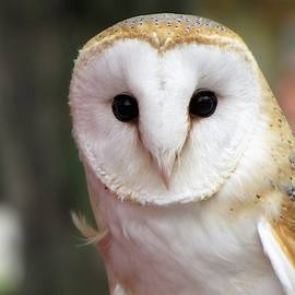 Curious Barn Owl by Marlin and Laura Hum