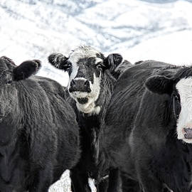 Jennie Marie Schell - Curious Cows in Winter Montana