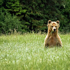 Curious Grizzly by Inge Riis McDonald