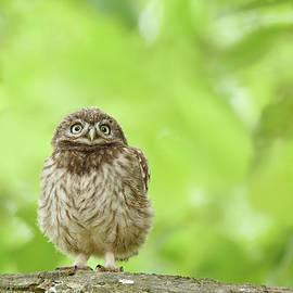 Roeselien Raimond - Curious Little Owl Chick