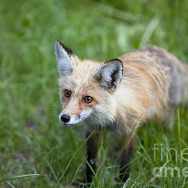 Curious Red Fox by Keith Kapple