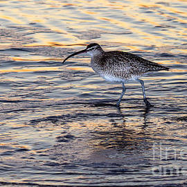 Curlew at sunset by Shawn Jeffries