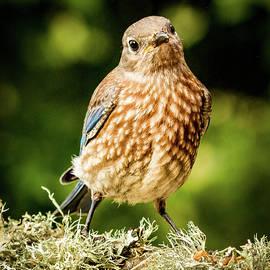 Jean Noren - Cute Bluebird Adolescent